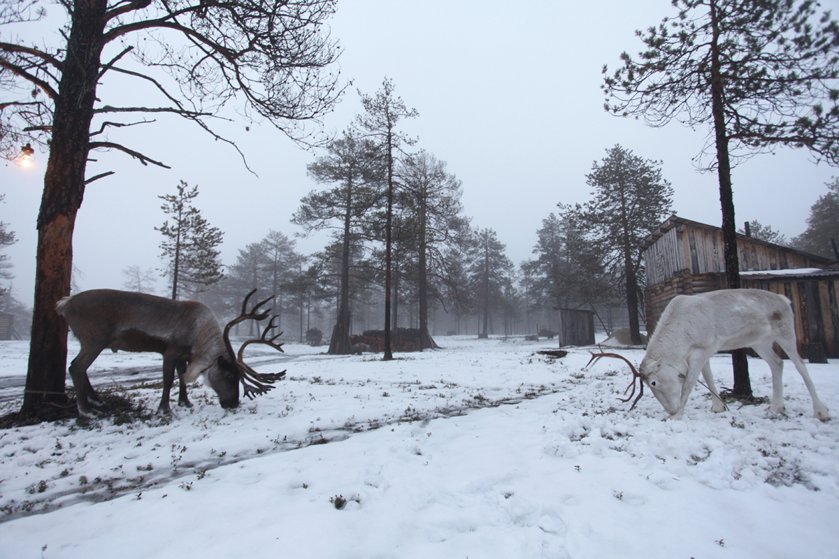 Family, taiga, deer